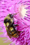 Bee-On-Thistle